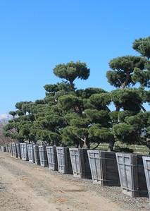Pinus sylvestris, Poodle Mass