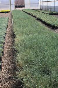 Grass, Helictotrichon sempervirens #1 Mass