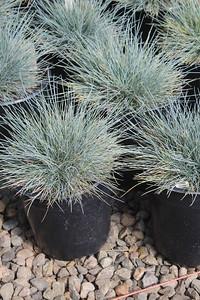 Grass, Festuca c  'Beyond Blue' #1