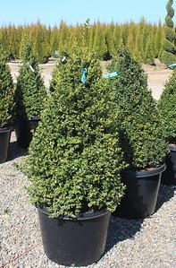 Buxus x 'Green Velvet', Pyramid (field grown) 30-36 in #20