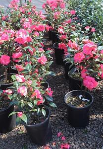 Camellia x 'Coral Delight' #5