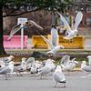 3 28 20 Peabody Seagull standalone 1