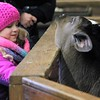 Kristi Garabrandt - The News-Herald<br /> Gabrielle Sutton, 5, pets one of the Farmparks dairy cows.