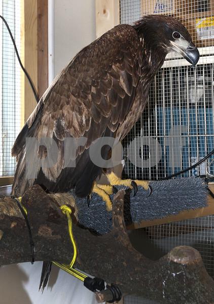 dc.031718.injured.eagle03