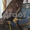 dc.031718.injured.eagle03