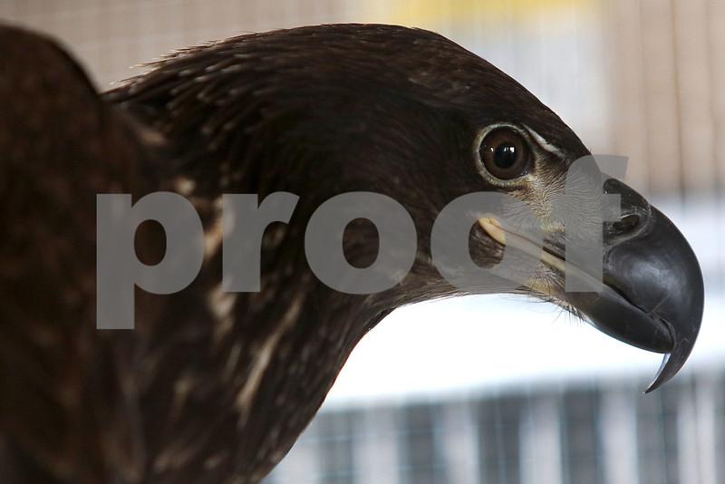 dc.031718.injured.eagle05