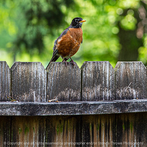 015-bird_robin-ankeny-02jun19-03x03-006-350-0655