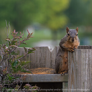 015-squirrel-ankeny-27sep18-03x03-006-350-7964