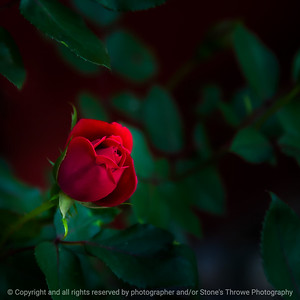 015-flower_rose-ankeny-03jun20-03x03-006-400-6866