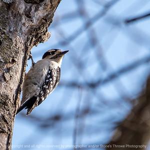 015-woodpecker-wdsm-24apr18-03x03-006-350-4040