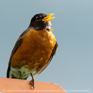 015-bird_robin-ankeny-25may19-03x03-006-350-0534