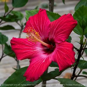 015-hibiscus-ankeny-27sep18-03x03-006-300-7940