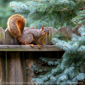 015-squirrel-ankeny-27sep18-03x03-006-350-7950