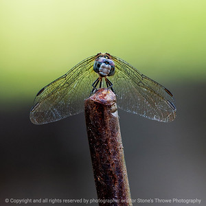015-dragonfly-ankeny-24jul19-03x03-006-350-2117