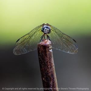 015-dragonfly-ankeny-24jul19-03x03-006-350-2117