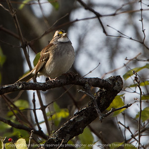 015-bird_white_throated_sparrow-wdsm-31oct18-03x03-006-350-8639