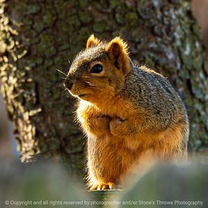 015-squirrel-ankeny-04mar20-03x03-006-400-5627
