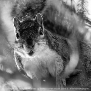015-squirrel-ankeny-13may19-03x03-006-350-bw-0382
