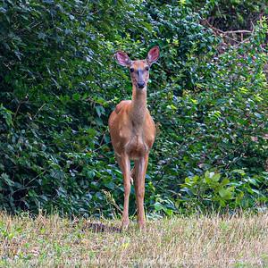 015-deer-wdsm-28jul19-03x03-006-400-2226