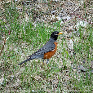 015-bird_robin-wdsm-21apr19-03x03-006-9974