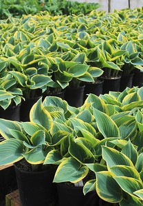 Hosta 'First Frost' #1 Group