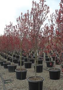 Prunus c  'Thundercloud' 1 5 in #25