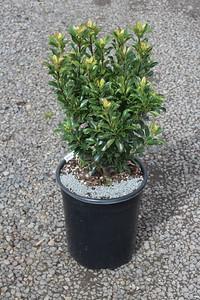 Rhaphiolepis umbellata 'Minor' #5