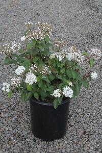 Viburnum tinus 'Spring Bouquet' #5