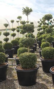 Buxus sempervirens, 4 Ball (field grown) 48-54 in #25