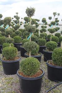 Buxus sempervirens, 4 Ball (field grown) 42-48 in #25