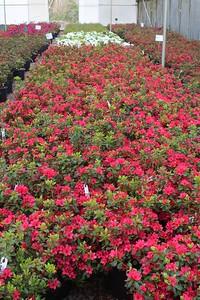 Azalea 'Hino Crimson' #2 Mass