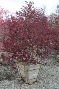Acer palmatum 'Twombly's Red Sentinel' 6 ft #24 Box
