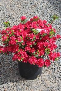 Azalea 'Hino Crimson' #2