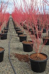 Acer palmatum 'Sango Kaku' 6-7 ft #25