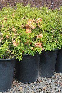 Chaenomeles japonica 'Cameo' #5 Group