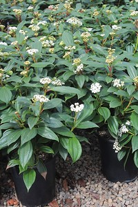 Viburnum davidii #5 Group