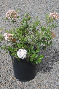 Viburnum burkwoodii #5