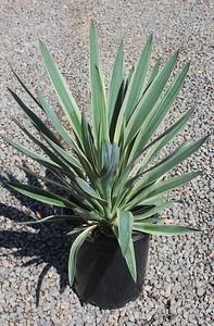 Yucca gloriosa 'Variegata' #5