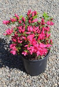 Azalea 'Girard's Pink' #2