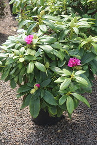 Rhododendron 'Holden' 18-21 in #3
