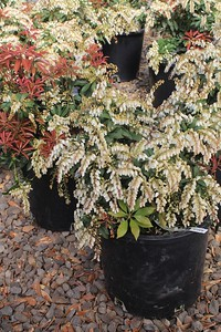Pieris japonica 'Mountain Fire' #5 Group