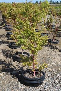 Acer palmatum 'Sango kaku' 4-5 ft #15