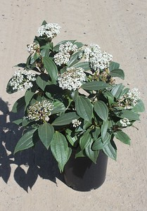 Viburnum davidii #5