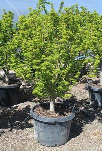 Acer palmatum 'Shishigashira' 2 in #25
