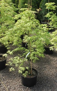 Acer palmatum 'First Ghost' #6
