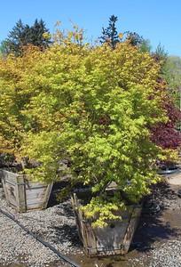 Acer palmatum 'Mizu Beni' 5 ft #24 Box