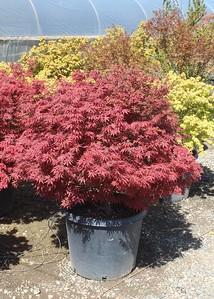 Acer palmatum 'Orion' 24-30 in #20