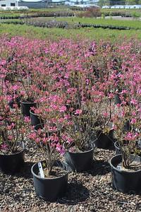 Azalea dec  'Light's Lilac' #6 Group
