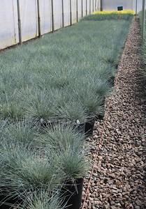 Grass, Festuca c  'Beyond Blue' #1 Mass