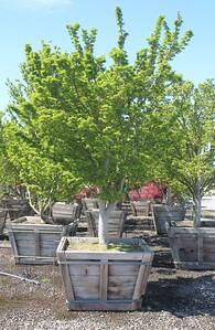 Acer palmatum 'Shishigashira' 5 in #42 Box
